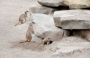 Edinburgh Zoo Meerkat enclosure