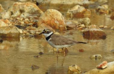 Chard Junction Quarry hatches a plan to save little ringed plover